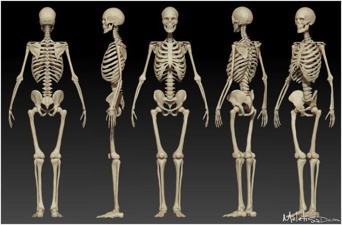 9857e625ff8393941acec28d9c1efbe8--female-skeleton-human-skeleton